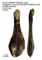 DUVALIA EMERICI (RASPAIL, 1829)