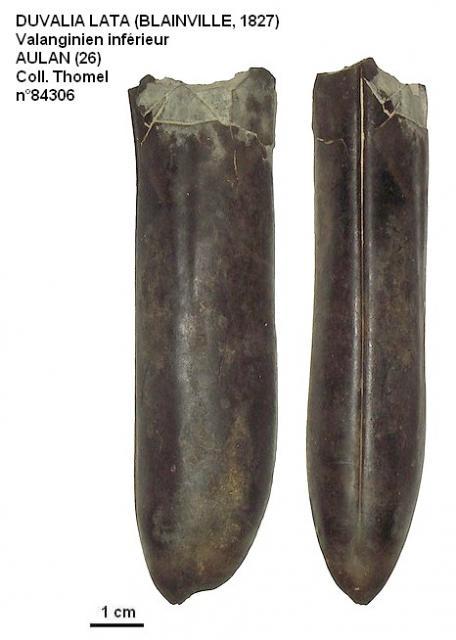 DUVALIA LATA (BLAINVILLE, 1827)
