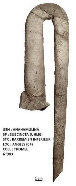 ANAHAMULINA SUBCINCTA