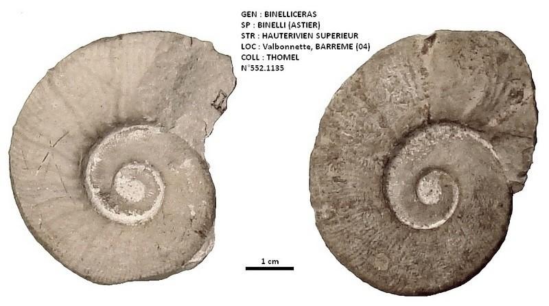 BINELLICERAS BINELLI