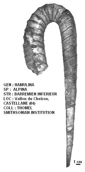 HAMULINA ALPINA