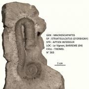 MACROSCHAPHITES STRIATISULCATUS
