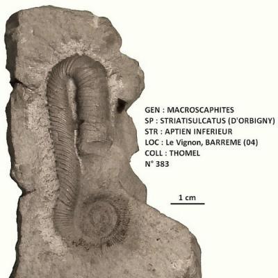 Macroscaphites