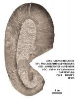 PARASPINOCERAS PULCHERRIMUM