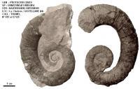 Protacrioceras
