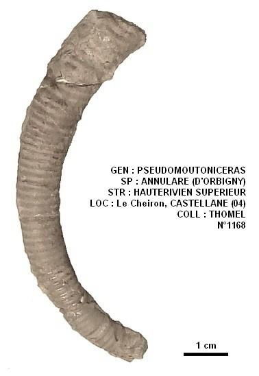 PSEUDOMOUTONICERAS ANNULARE