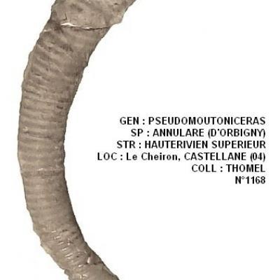 Pseudomoutoniceras