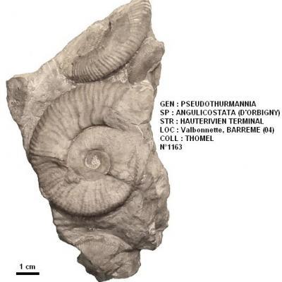 Pseudothurmannia