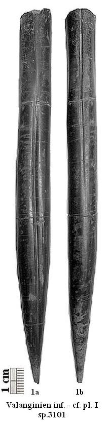 Spécimen de référence Ps. bipartitus (n°3101)