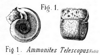 Amonites telescopus2