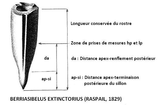 Berriasibelus extinctorius 1