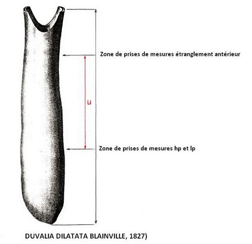 Duvalia dilatata