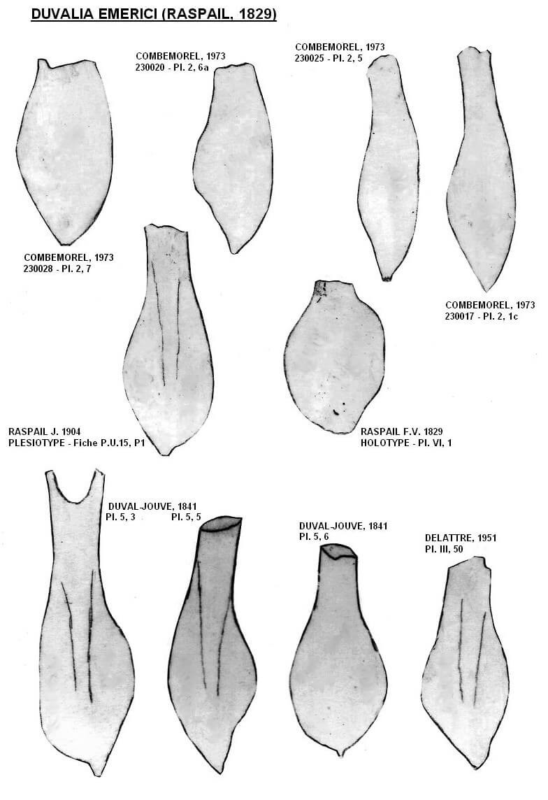 Duvalia emerici - morphotypes