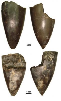 Fragments de rostre du genre Acroteuthis
