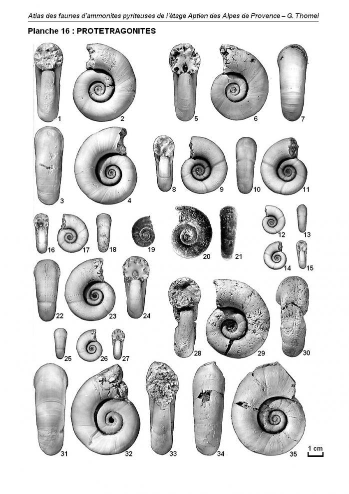 Ammonites de l'Aptien - Planche 16