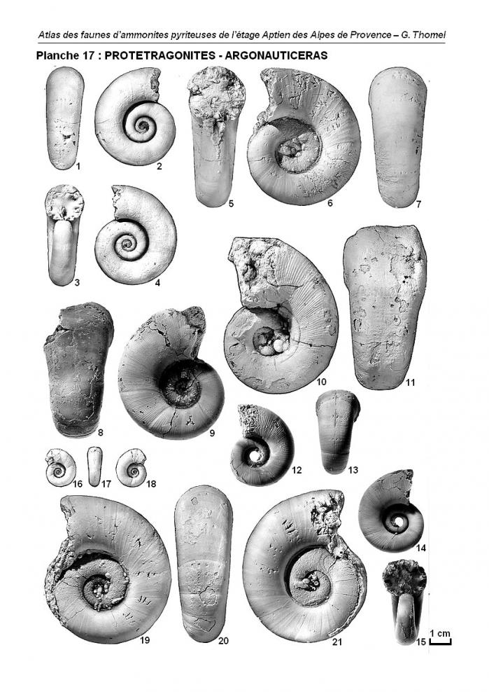 Ammonites de l'Aptien - Planche 17