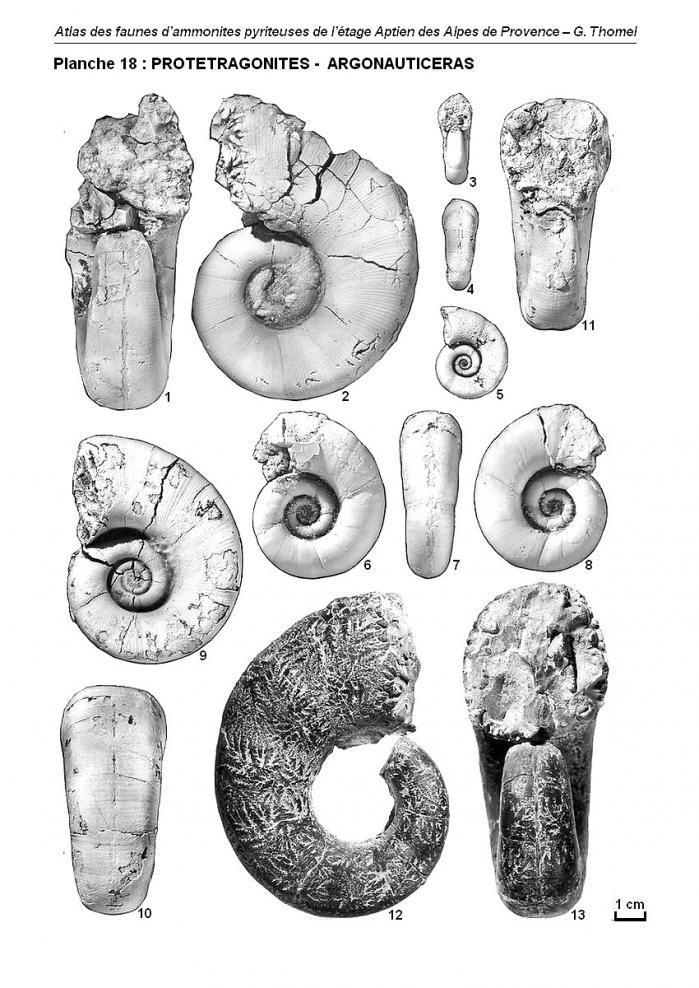 Ammonites de l'Aptien - Planche 18