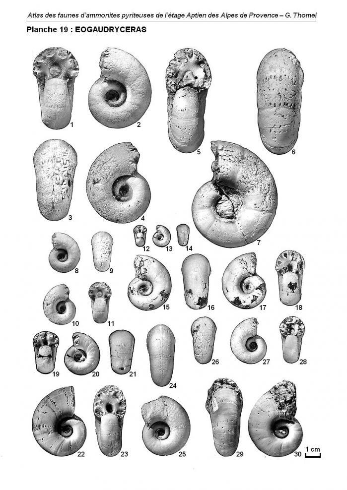 Ammonites de l'Aptien - Planche 19