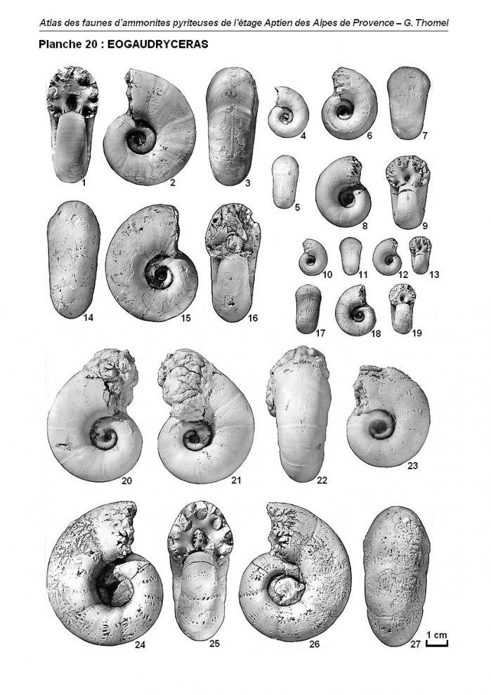 Ammonites de l'Aptien - Planche 20