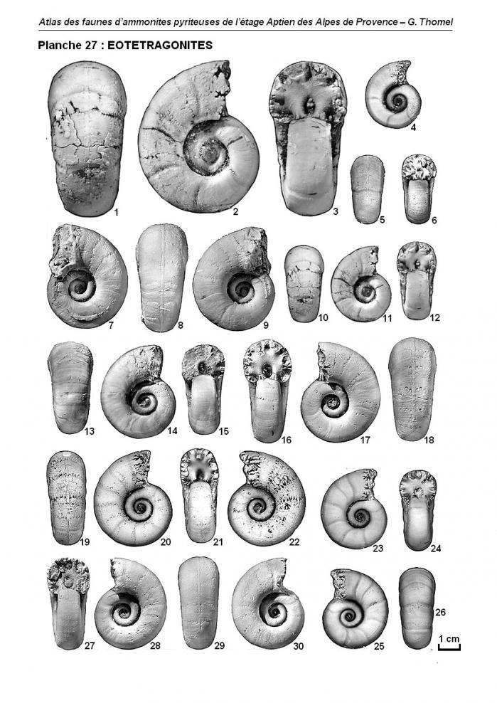 Ammonites de l'Aptien - Planche 27