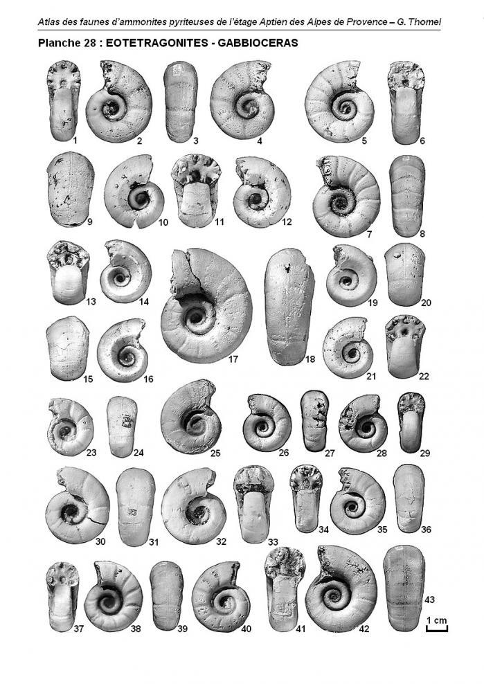 Ammonites de l'Aptien - Planche 28