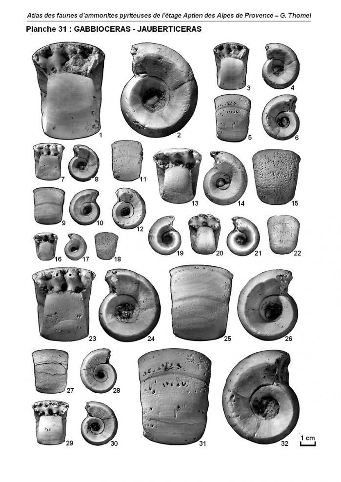 Ammonites de l'Aptien - Planche 31