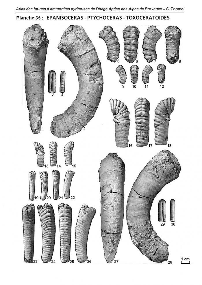 Planche 35 - Atlas des faunes d'ammonites pyriteuses de l'Aptien