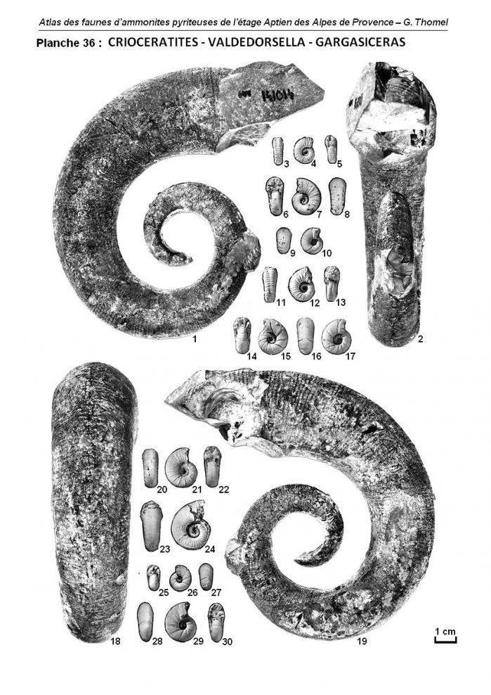 Planche 36 - Atlas des Ammonites de l'Aptien