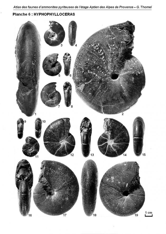 Ammonites de l'Aptien - Planche 6