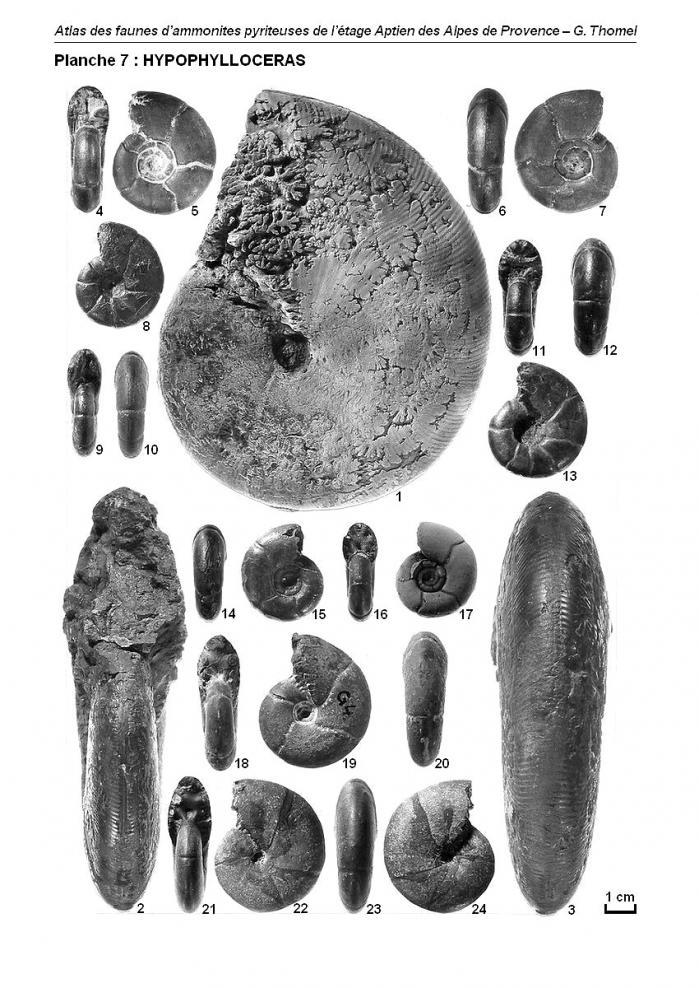 Ammonites de l'Aptien - Planche 7