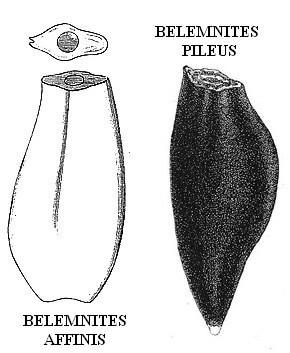 Duvalia emerici - morphotypes pileus et affinis