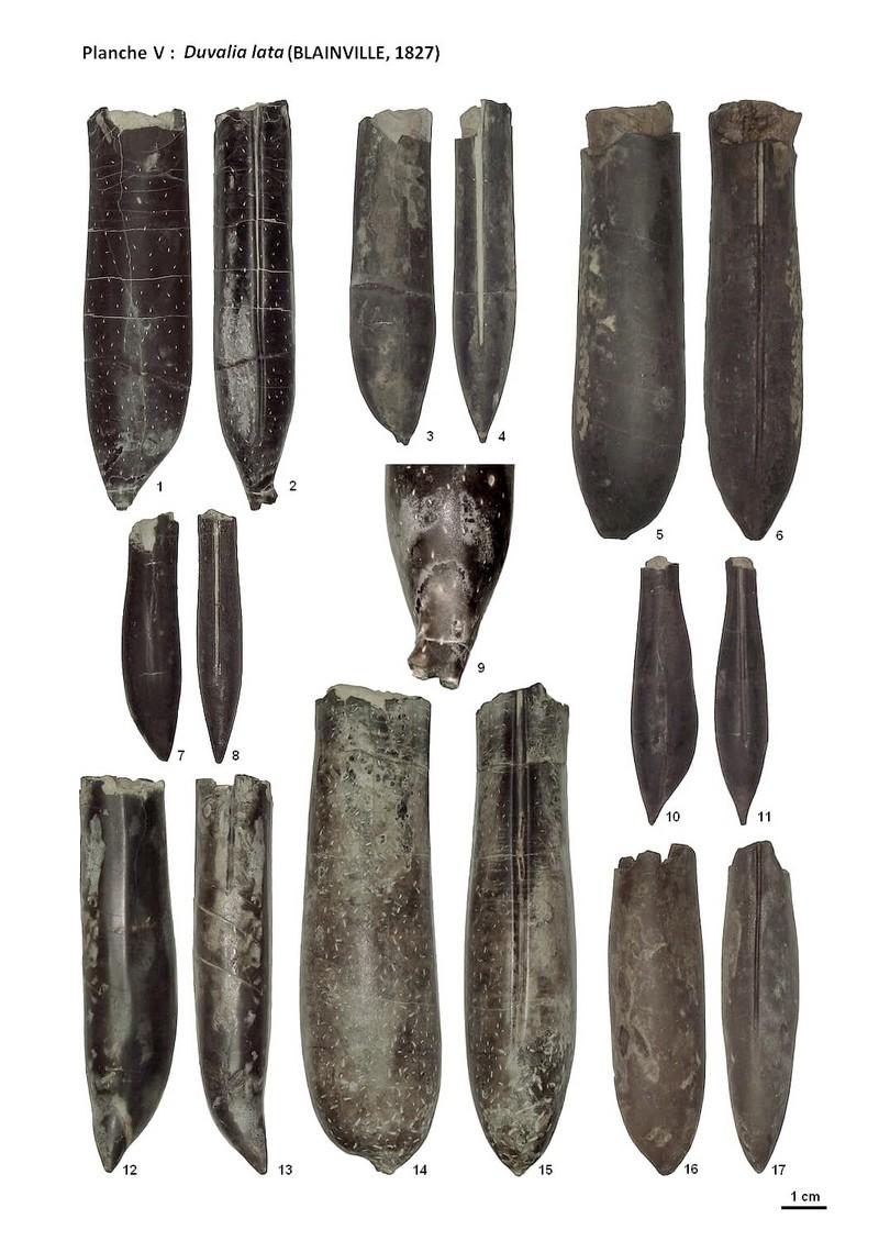 Duvalia lata - planche 5