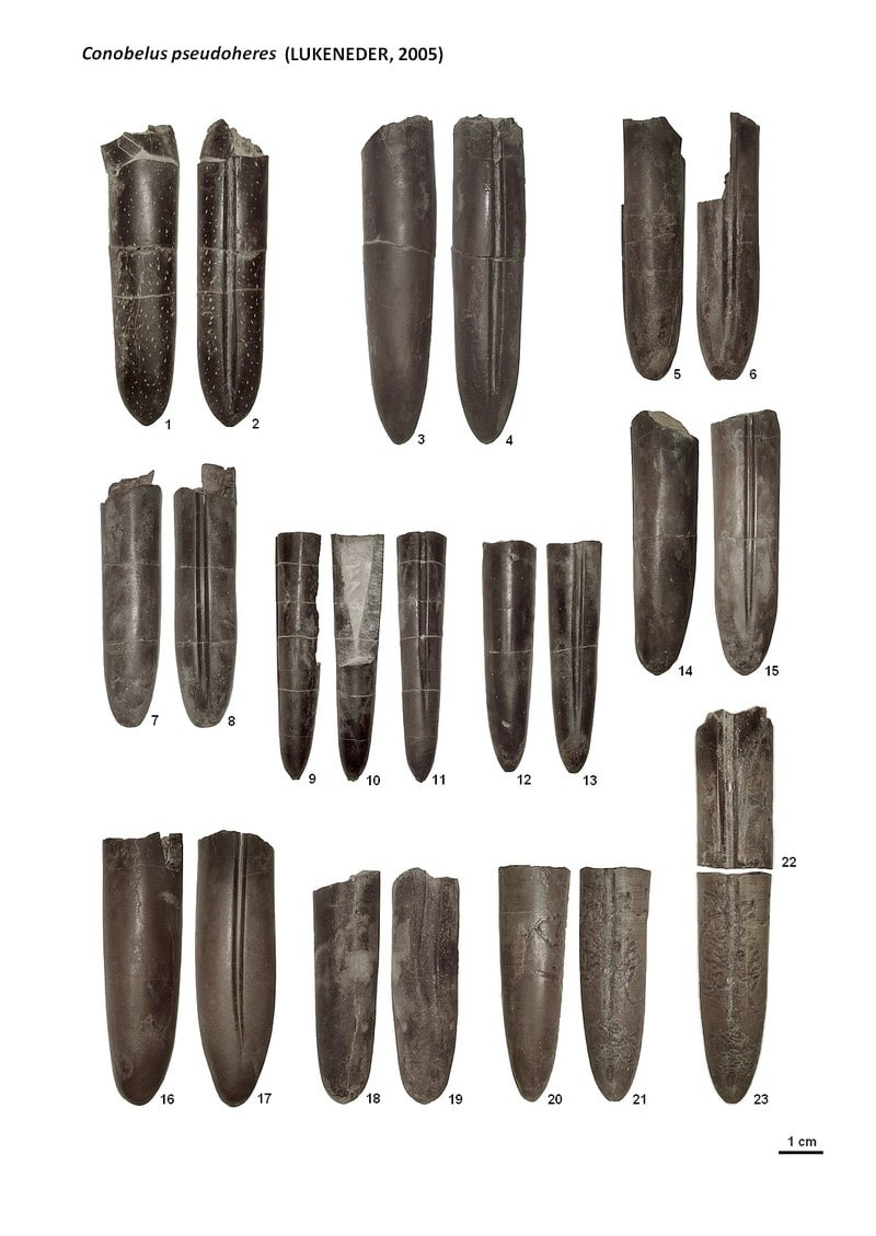 Conobelus pseudoheres (LUKENEDER)