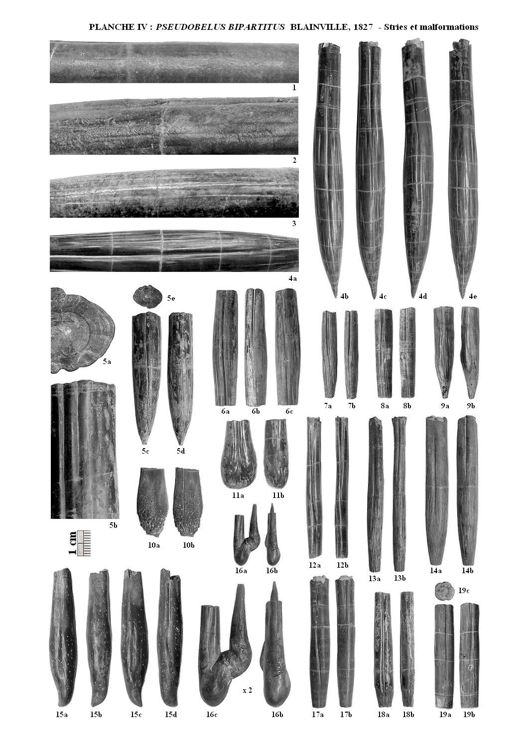 Pseudobelus planche4 1